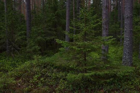 Real landscape of the taiga forest on a gloomy rainy day. Standard-Bild
