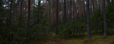 Real landscape of the taiga forest on a gloomy rainy day.