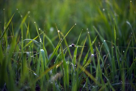 Dew drops on the tips of fresh green grass after sunset.