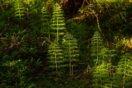 Horsetail in the sunset among the tall firs and pines in the forest.
