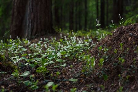 Maianthemum bifolium in the magic atmosphere of the mysterious forest.