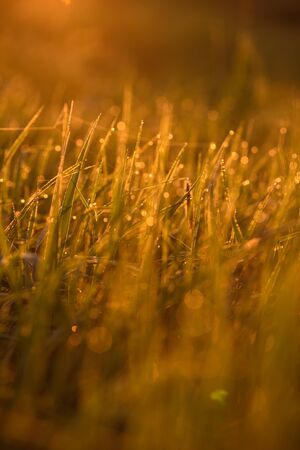 Early morning. The rising of the sun. Warm light shimmers in the dewdrops of the field grass entangled in a thin network of cobwebs.