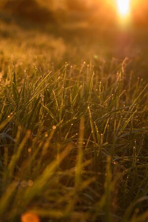 Early morning. The rising of the sun. Warm light shimmers in the dewdrops of the field grass entangled in a thin network of cobwebs. Banco de Imagens