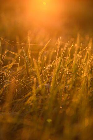 Früher Morgen. Das Aufgehen der Sonne. Warmes Licht schimmert in den Tautropfen des Feldgrases, das sich in einem dünnen Netz aus Spinnweben verfängt.