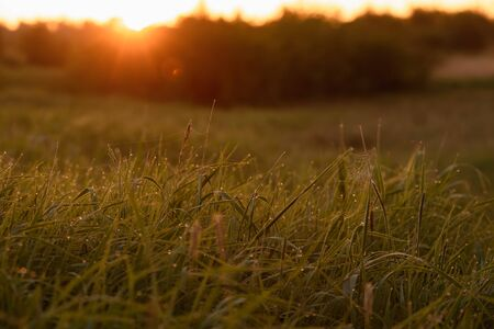 Early morning. The rising of the sun. Warm light shimmers in the dewdrops of the field grass entangled in a thin network of cobwebs. 스톡 콘텐츠