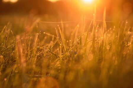 Early morning. The rising of the sun. Warm light shimmers in the dewdrops of the field grass entangled in a thin network of cobwebs. Stock Photo
