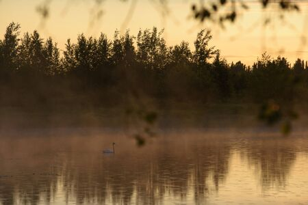 A white swan on a secluded lake in the rays of the rising sun and a haze of fog.