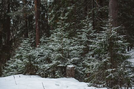 Winter forest landscape. Groups of firs are covered with thin light snow.