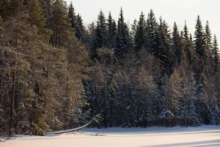Frosty sunny day in the snow-covered northern forest.