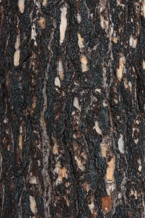 Close-up background. Pine bark of a tree after a fire in the forest. Stock Photo