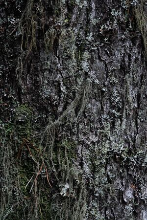 Macrophotography. The bark of tree overgrown with moss and lichen.