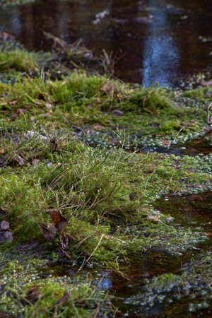 Mysterious sacred forest. Swampy woodland covered with thick green moss