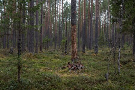 The trunk of a pine tree with a stripped bark in the forest. Фото со стока - 147355255