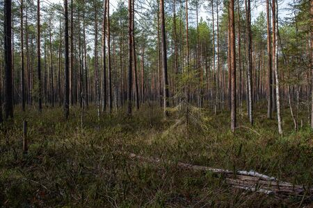 Forest swamp with a large number of stumps, pines. it is overgrown with bushes of ledum and green moss.