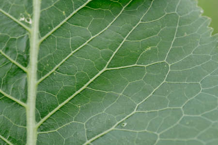 Close-up. Background. Horseradish leaves close-up with veins and flaws. Stock Photo