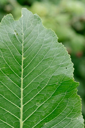 Close-up. Background. Horseradish leaves close-up with veins and flaws.