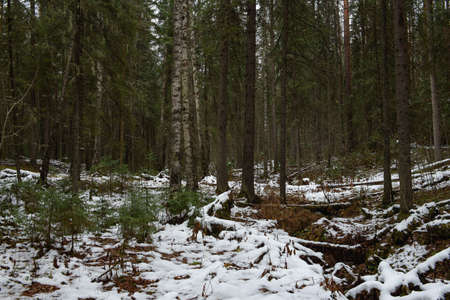 Landscape. Late autumn. Windfall in the forest dusted with snow.