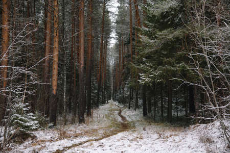 Late autumn in the forest. A path among tall trees.