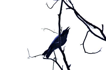 A single raven sitting on the top of a dead tree branch on a white background