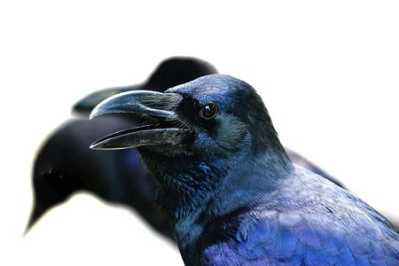 Close up of a black raven shouting out in the forest on white background 版權商用圖片