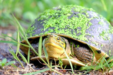 Close up an Asian box turtle in a green garden with many small water fern on a face and tortoiseshell
