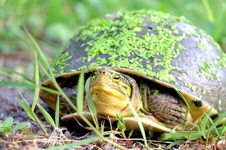 Schließen Sie eine asiatische Dosenschildkröte in einem grünen Garten mit vielen kleinen Wasserfarnen auf einem Gesicht und Schildpatt