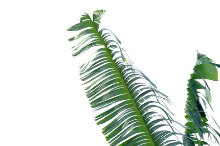 Tearing banana leaves with sun light and wind blowing on white isolated background for green foliage backdrop
