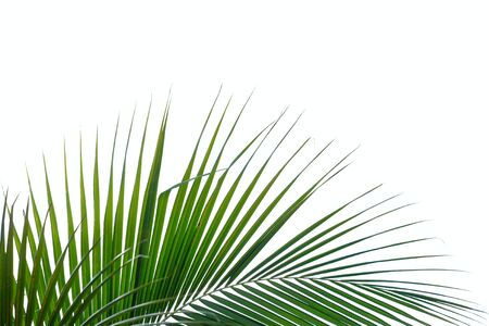 Coconut leaves on white isolated background for green foliage backdrop Stok Fotoğraf - 131994224