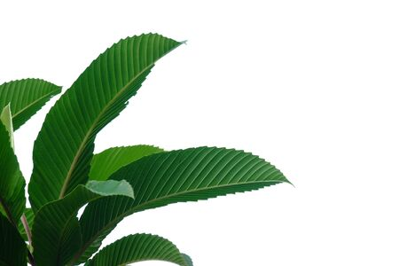 Elephant apple tree leaves with sun light on white isolated background for green foliage backdrop