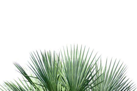 Foglie di palma su sfondo bianco isolato per sfondo di fogliame verde