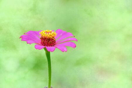 Sweet pink zinnia flower blossom in botanical garden at the park with warm light and nature background