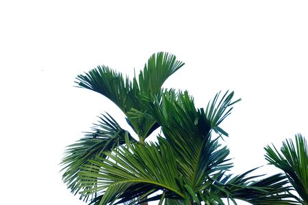 Tropical palm leaves with branches on white isolated background for green foliage backdrop Archivio Fotografico
