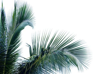 Tropical coconut leaves with branches on white isolated background for green foliage backdrop Banco de Imagens