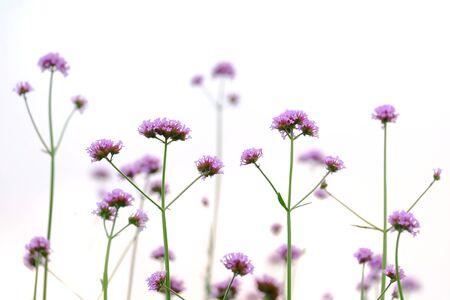 A bouquet  of purple verbena flower blossom in botanical garden on white isolated background