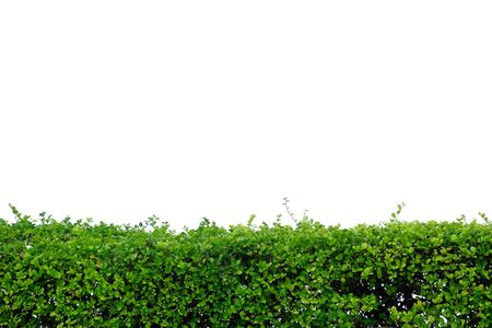 A fence of Hakka tea plant growing in botanical garden on white isolated background for green foliage backdrop Stock Photo