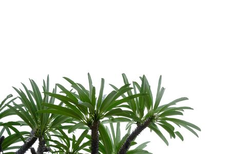 Desert palm leaves with branches on white isolated background for green foliage backdrop