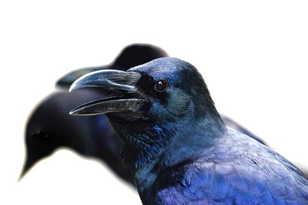 Raven sits on the bridge and shout out with blur two ravens and white background