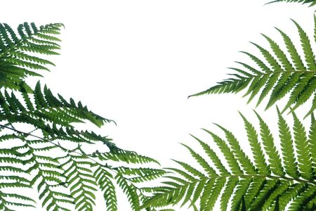 Tropical fern leaves on white isolated background for green foliage backdrop
