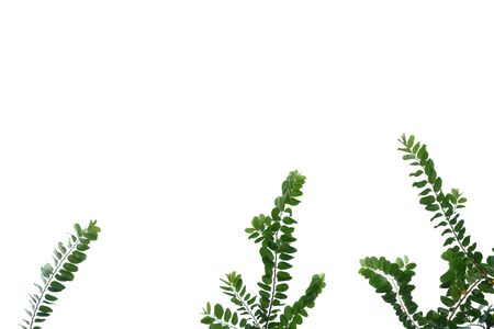 Young tropical plant with leaves branches on white isolated background for green foliage backdrop Imagens