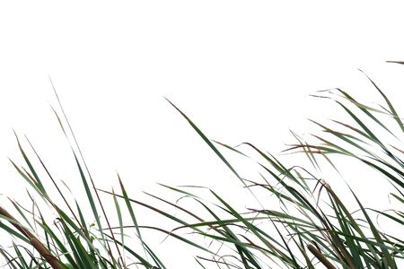 Wild grass leaves with wind blowing on white isolated background for green foliage backdrop Stockfoto