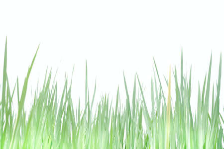 Softly style with blurry shade of a  paddy field in a land on white isolated background  for green foliage  backdrop 스톡 콘텐츠