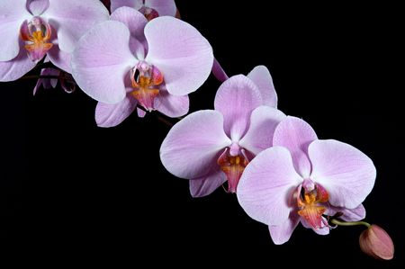 Pink purple Orchid