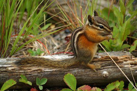 Chipmunk sitting on a decaying log