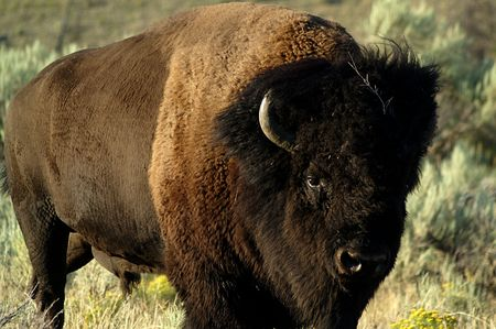 ruminants: Bison - Majestic Buffalo in Yellowstone National Park
