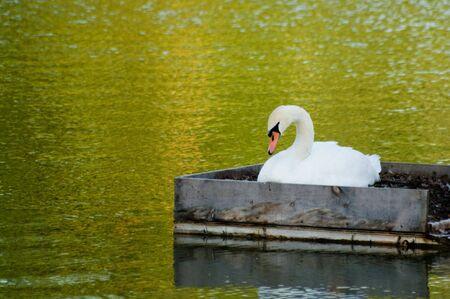 Breeding swan in a pond around sunset photo