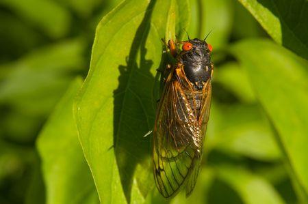 Red eyed seventeen year cicada sitting on a green leaf