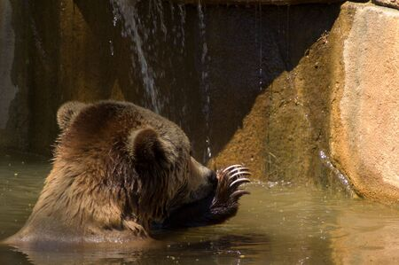 Brown Bear taking a bath Imagens