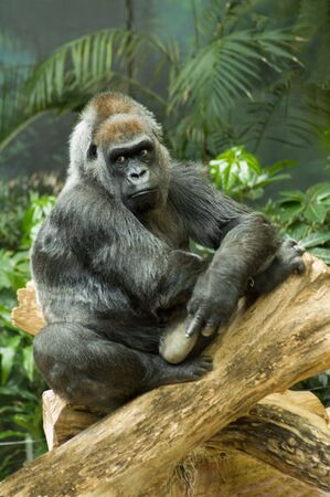 Thoughtful Western Lowland Gorilla