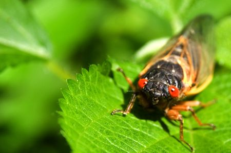 Red eyed seventeen year cicada Stock Photo