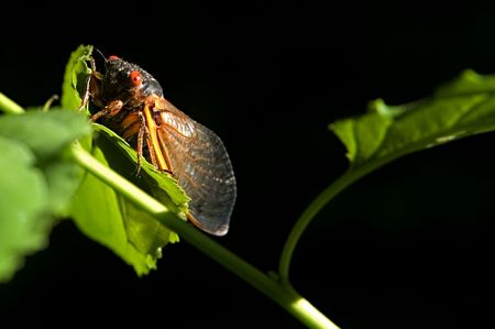 crick: Red eyed 17 year cicada climbing up into the sunlight